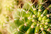 Vivid green grusonii cactus closeup shot — Stock Photo