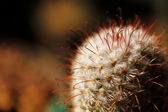 Escobaria nipple cactus with long and short spines — Stock Photo