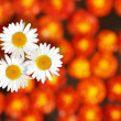 Three white daisies standing amidst marigold flowers in the back — Stock Photo