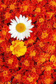 White daisy flower in the middle of french marigold — Stock Photo