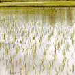 Stock Photo: Newly planted rice seedlings