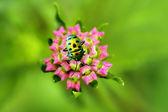Lantana pąków kwiatowych i złoty błąd — Zdjęcie stockowe