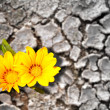 Stock Photo: Concept of persistence. Flowers blooming in arid land