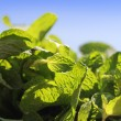 Fresh bunch of flavored and aromatic mint leaves — Stock Photo #9378135