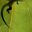 Silhouette of a lizard on a leaf back lit by sunlight — Stock Photo