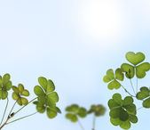 Young oxalis leaves backlit by sunlight in a garden — Stock Photo