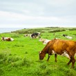 Cows on cliff — Stock Photo #9291406