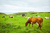 Cows on the cliff — Stock Photo