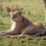 Stunning lioness — Stock Photo