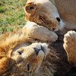 Stunning lion and lioness — Stock Photo