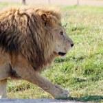 Stunning lion — Stock Photo