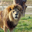 Stunning lion — Stock Photo #8505940