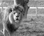 Big cat lion — Stock Photo