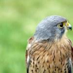Stunning bird of prey — Stock Photo #9176206