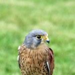 Stunning bird of prey — Stock Photo #9176441