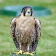 Stock Photo: Stunning bird of prey