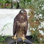 Stunning bird of prey — Stock Photo #9176483