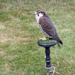 Stunning bird of prey — Stock Photo #9176500