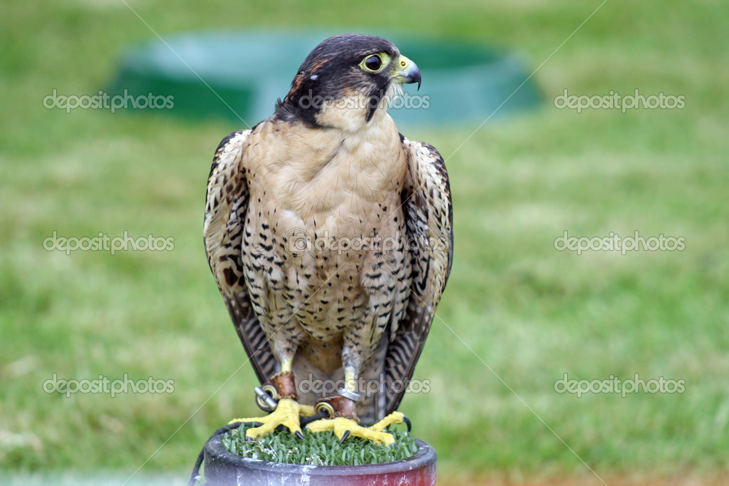 A stunning bird of prey — Stock Photo #9176471