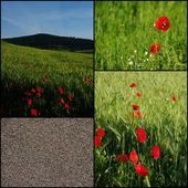 Red poppy and its seeds — Stock Photo