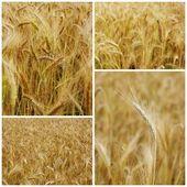 Field of grain — Stock Photo