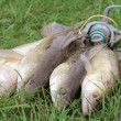 Stock Photo: Fishing catch - zander