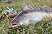 Fishing catch - zander — Stock Photo
