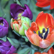 Flowers.Tulips. - Stock Photo