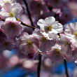 Blossom in spring — Stock Photo