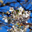 Stock Photo: Blossom in spring