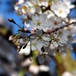 Blossom in spring — Stock Photo #9793364