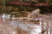Sika deer drinking water in autumn — Stock Photo