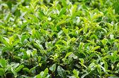Japanese green tea plant — Stock Photo