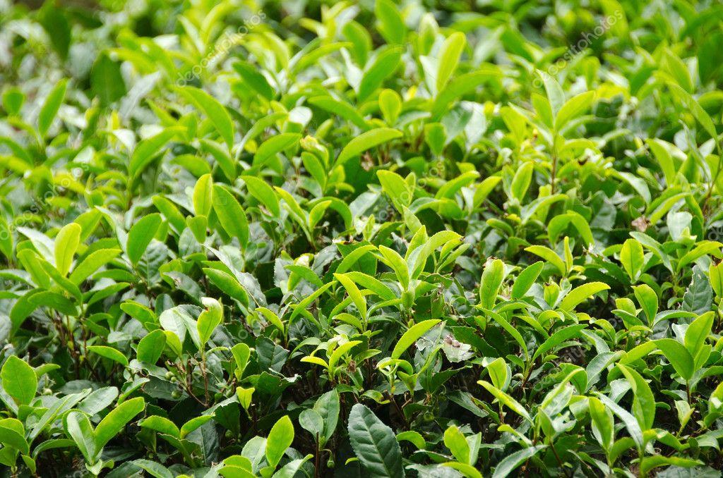 Pianta del t verde giapponese foto stock arrxxx 8009044 for Pianta del piano casa di 800 piedi quadrati