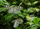 Large Tree Nymph butterfly, Idea leuconoe — Stock Photo