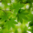 Stock Photo: Green maple leaves background
