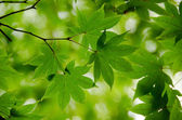 Green maple leaves background — Photo