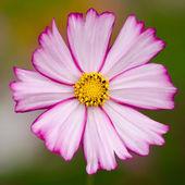 Single cosmos flower — Stock Photo