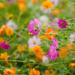 Stock Photo: Field with fading cosmos flowers