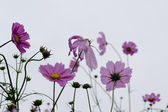 Pink cosmos flowers in backlight — Stock Photo