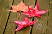 Red platanus leaves — Stock Photo