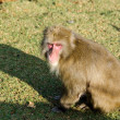 Japanese macaque sitting on the ground — ストック写真