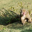 Japanese macaque sitting on the ground — Stockfoto