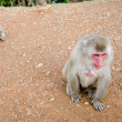 Female japanese macaque sitting on the ground — Stock Photo