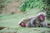 Female japanese macaque with baby — Stock Photo