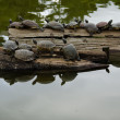 Turtles sunbathing on wood - Stock Photo