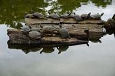 Tartarugas, banhos de sol na madeira — Fotografia Stock
