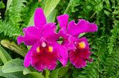 Flores orquídeas púrpura — Foto de Stock