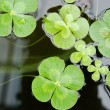 Water clover — Stock Photo #9814517