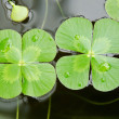 Water clover — Stock Photo